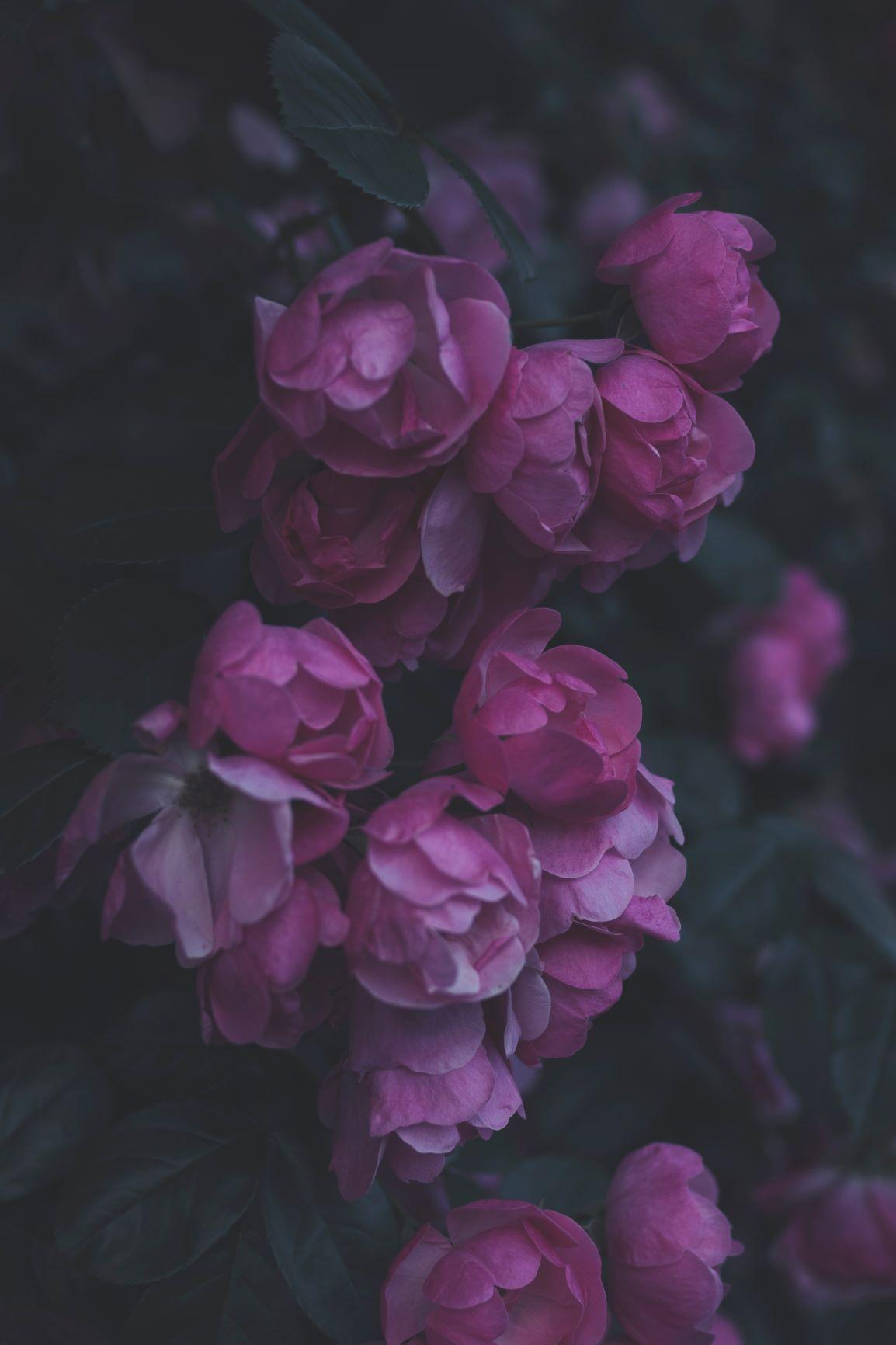 roses tomoko-uji-y4soWxEkEEU-unsplash